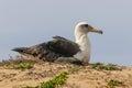 Laysan Albatross Phoebastria immutabilis