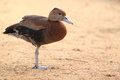 Laysan duck the standing on the soil Stock Photos