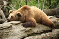 Lazy bear Royalty Free Stock Photo