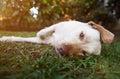 Lazy brown labrador dog Royalty Free Stock Photo