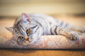 Lazy cat gray which lies on the carpet Royalty Free Stock Photography