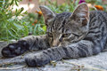 Lazy cat is lying on a bench closeup of kitten while stretching legs gray striped lays down wooden surface in the backyard Royalty Free Stock Images