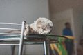 Lazy cat lying on a kitchen table cute Stock Image