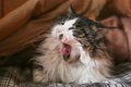 A lazy cat, a sleepy cat Royalty Free Stock Photo