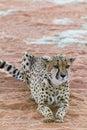 Lazy Cheetah (Gepard). Royalty Free Stock Photo