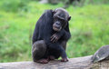 Lazy chimpanzees Royalty Free Stock Photo