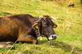 Lazy cow on green grass Royalty Free Stock Photo