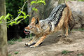 Lazy coyote is stretching on the ground Royalty Free Stock Photo