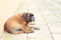 Lazy dog boxer lying on pavement Stock Image