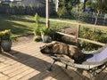 Lazy dog days of summer Royalty Free Stock Photo