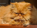 Lazy fat cat sleeps close up picture of a red persian Royalty Free Stock Photo