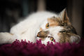 Lazy fluffy cat with spotted fur Royalty Free Stock Images