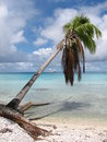 Lazy leaning palm tree on the idyllic rangiroa in the south pacific ocean even the trees are laid back Stock Photography