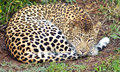 Lazy Leopard Stock Photography