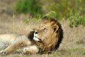 Lazy lion in africa a lies the savannah Royalty Free Stock Photography