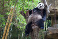 A lazy panda is sleep on a tree but he still can hold his position comfortable Royalty Free Stock Photos