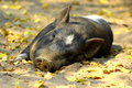 Lazy pig Royalty Free Stock Photography