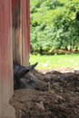 Lazy pig sleeping in the mud Royalty Free Stock Photo