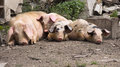 Lazy pigs free lying on the ground Royalty Free Stock Photos