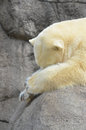 A lazy polar bear sleeps on a rock in a zoo Royalty Free Stock Image