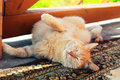 Lazy red cat in summer stretches on carpet at outdoor paws up Royalty Free Stock Photography