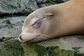 Lazy sea lion sleeping on a rock Stock Photo