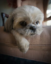 Lazy shih tzu puppy lying on chair close up of a very cute small white dog lazed a large Stock Photo