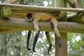 Lazy Spider Monkey