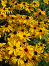 Lazy Susans Garden Royalty Free Stock Photo