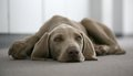 Lazy weimaraner dog portrait of a resting on a carpet Royalty Free Stock Images