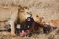 Leão dos animais 040 Imagens de Stock