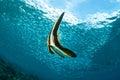 Le batfish de longfin juvénile et instruisant pêche la natation dans gili lombok nusa tenggara barat photo sous marine de l Image libre de droits