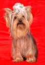 Le chien terrier de Yorkshire se repose sur le fond rouge Photo stock