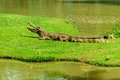 Le crocodile Image stock