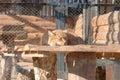Le lynx sibérien Photographie stock