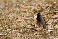 Le myna commun. Photo stock