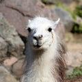 Le portrait du lama Photo libre de droits