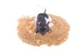 Le rat se repose sur une pile de millet Photo stock