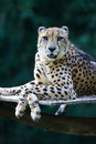 Le Roi Cheetah Image stock