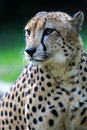 Le Roi Cheetah Images stock