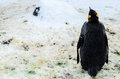 Le roi penguins dans le zoo du japon Photos libres de droits