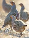 Leader of a pack of gray partridges in a pose of attention Royalty Free Stock Photo