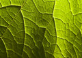 Leaf Royalty Free Stock Image