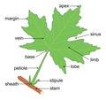 Leaf Anatomy Royalty Free Stock Photo