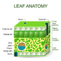 Leaf anatomy. vector diagram. Royalty Free Stock Photo