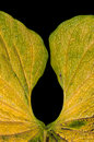 Leaf of Anthurium Stock Image