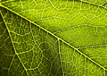 Leaf background Royalty Free Stock Photo