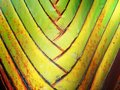 Leaf bases on a Travelers Palm, nature texture, dry plant Royalty Free Stock Photo