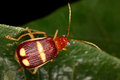 Leaf beetle fauna of rain forest of ecuador coleoptera chrysomelidae Stock Photos