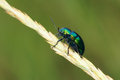 Leaf beetle a green on grass ear Royalty Free Stock Image